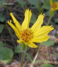 Image of Arnica chandleri