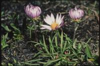 Image of Aster andersonii