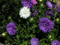 Image of Aster chinensis