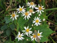 Image of Aster chlorolepis