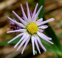 Image of Aster greatae