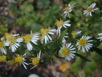 Image of Aster ontarionis
