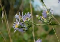 Image of Aster poaceus
