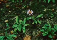 Image of Aster sibiricus