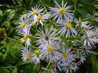 Image of Aster smallii