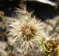 Image of Aster sonomensis