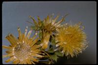 Image of Aster standleyi