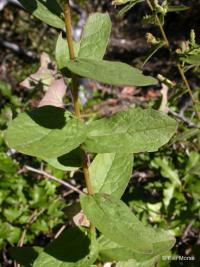 Image of Aster vialis