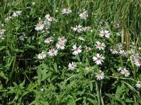 Image of Aster x versicolor