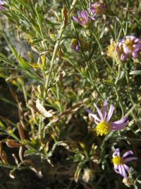 Image of Aster yosemitanus
