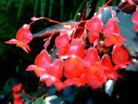 Image of Begonia coccinea