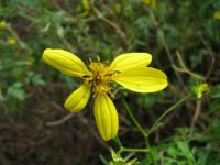 Image of Bidens gracilis