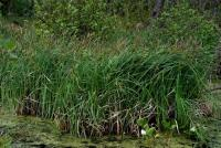 Image of Carex acutiformis