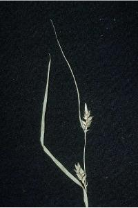 Image of Carex amphibola
