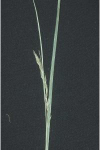 Image of Carex debilis