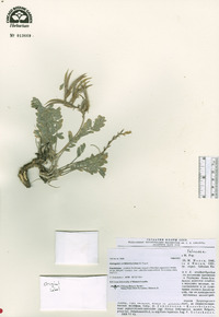 Image of Astragalus ornithorrhynchus
