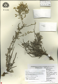 Image of Artemisia lercheana