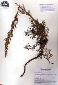 Image of Artemisia commutata
