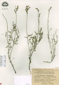 Image of Astragalus pallescens