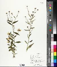 Image of Aster mongolicus
