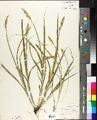Carex stipata image
