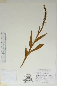 Image of Platanthera aquilonis