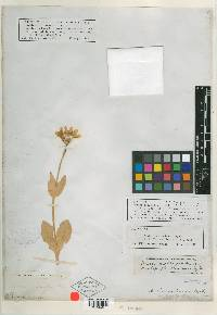 Image of Arnica coloradensis