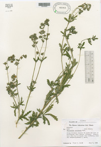 Potentilla inclinata image