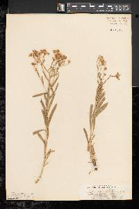 Aster ptarmicoides image