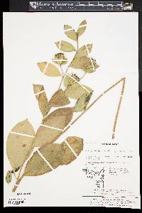 Image of Atractylodes lancea