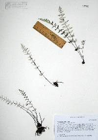 Image of Cheilanthes rosei