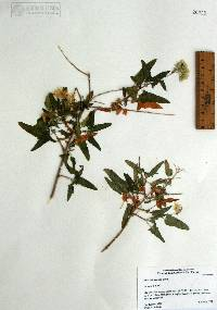Image of Brickellia hastata