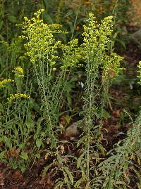 Image of Solidago nemoralis