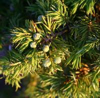 Image of Juniperus communis