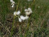 Image of Eriophorum viridicarinatum