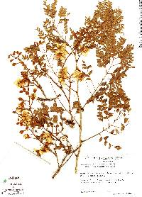 Image of Caesalpinia eriostachys