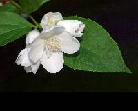 Image of Philadelphus pubescens