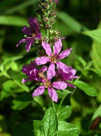 Image of Lythrum salicaria