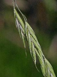 Image of Bromus pubescens