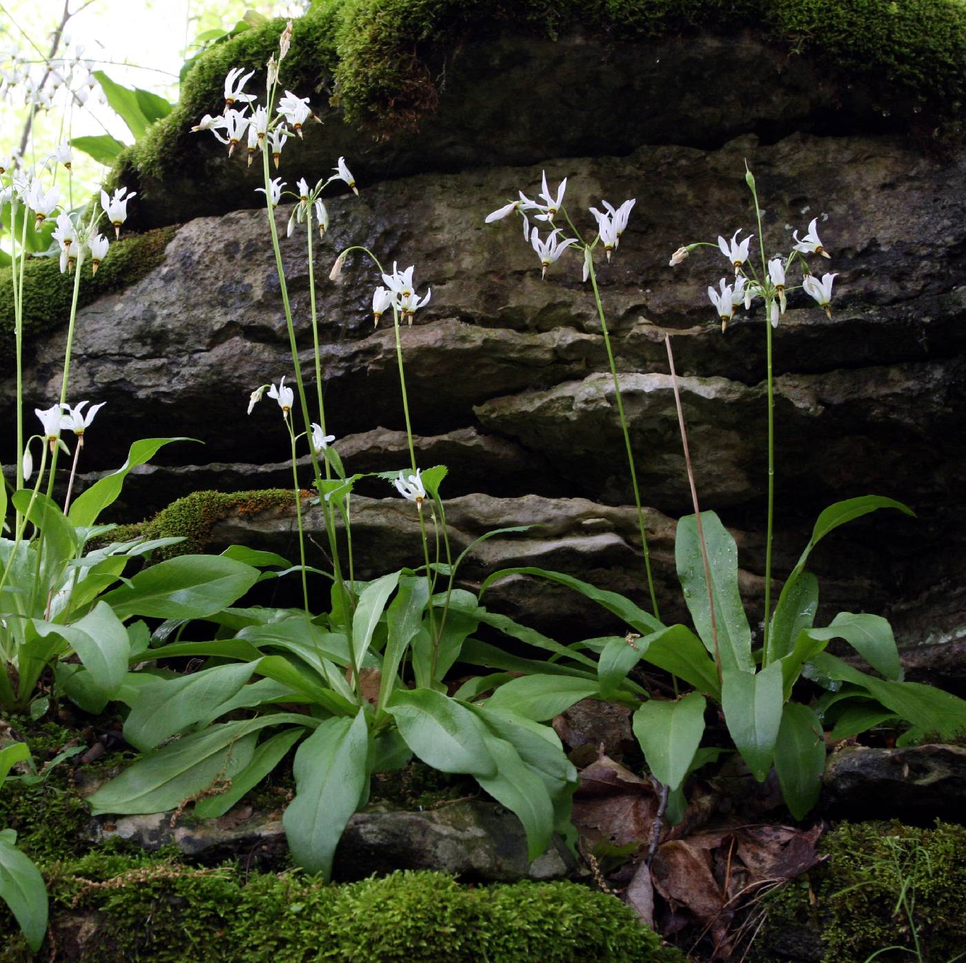 Dodecatheon meadia image