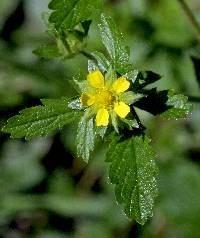 Image of Potentilla norvegica