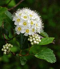 Image of Physocarpus opulifolius