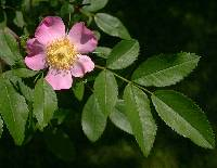 Image of Rosa carolina