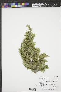 Image of Juniperus x fassettii