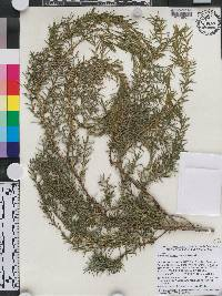 Image of Juniperus cedrus
