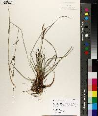 Image of Carex flacca