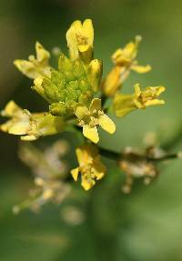 Image of Barbarea vulgaris