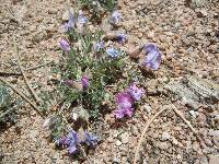 Image of Astragalus shortianus