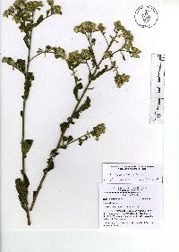 Image of Baccharis sordescens