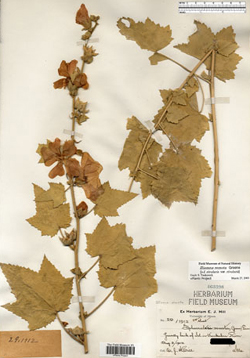 1912 specimen of Kankakee Mallow.